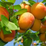 Абрикосы: полезные свойства и рецепты вкусных блюд