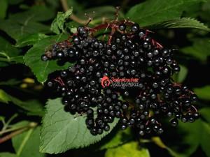 elderberry_natural_immune_booster1
