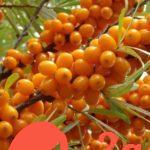Целебная ягода — облепиха